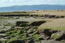 Eroding saltmarsh cliff, with grazing sheep in the back. : image Martin Skov