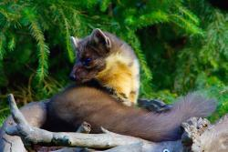 The pine marten – cute but cunning
