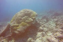 Porites corals are one of the few surviving coral species in shallow waters