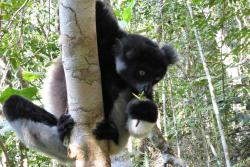 The biodiversity of the rainforests of eastern Madagascar is fabulous, including this indri (the largest lemur in Madagascar).: Credit: JPG Jones