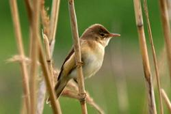 Eurasian reed warbler: By Martien Brand from Mariënberg, The Netherlands (29601 Kleine Karekiet / Reed Warbler) [CC BY 2.0 (http://creativecommons.org/licenses/by/2.0)], via Wikimedia Commons