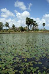 Kiwaleni  Lake,  Kibaridi,  Pemba  Island.  The  scientists  sampled  wild  tilapia  populations  from  Kangagani  fish  ponds,  Pemba  Island  for  sequencing  to  determine  exotic   and  native  species  of  Tilapia  in  Tanzania.: Credit:  Tarang  Mehta,  Earlham  Institute  (as above)