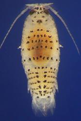 The diminutive speckled sea louse (Eurydice pulchra) boasts two body clocks.