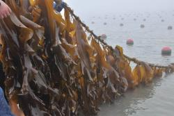 Seaweed in Sungo Bay, Rongcheng, where China's largest kelp farm is located.: Dong Xu, Author provided