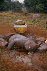 Poaching is still a huge problem, despite a resurgence in the southern white rhino population.