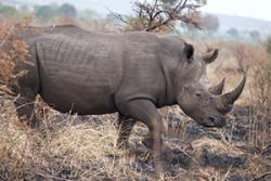 A southern white rhino in South Africa.