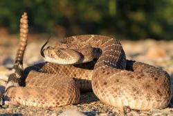 A western diamondback rattlesnake (Crotalus atrox) in a defensive stance.: Image copyright & credit Wolfgang Wüster