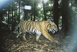 Photo of tiger caught on camera trap