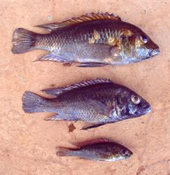 Three species of cichlid fish are evolving from a single ancestral form in Lake Massoko in Tanzania.