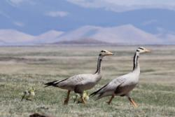 Bar headed geese and goslings: Image credit:Nyambayar Batbayar, Mongolian Academy of Sciences