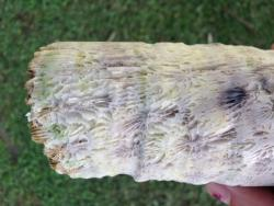 Side view of Diploastrea coral core specimen. This coral species is slow-growing, massive, and resistant to bio-erosion due to its dense skeleton.