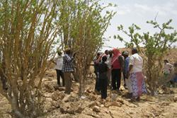 Farmers surveying a frankincense tree in Somalia