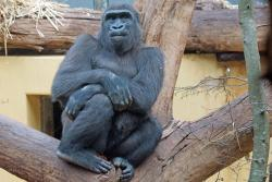 A gorilla seeks space at a zoo
