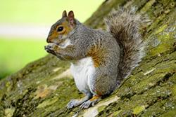 The grey squirrel- friend or foe?