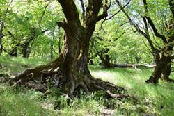 'Our Lady of the Nightingales' - the sacred forest of Panagia Aidonolaloussa. Branches, roots and holes of giant old oaks, Judas-trees, mahaleb cherries and hornbeams bring a Tolkienesque air to this ancient woodland. : Photo © K. Stara