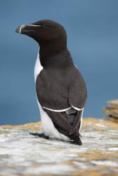 Razorbill with tag.: Image Derren Fox/ RSPB