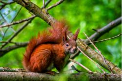Red squirrels are one of many species eaten by pine martens.