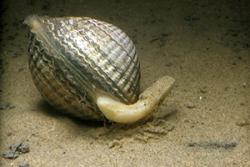 A cockle on the sea bed