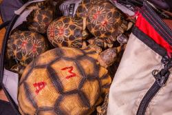 Critically endangered Malagasy species such as these critically endangered tortoises maybe extinct in the wild within the next few years if illegal collection isn't stopped. : Copyright Chris Scarffe.
